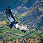 Andean Condor in the Sondondo Valley, Ayacucho Peru