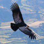 andean condor flying ayacucho peruvian soul