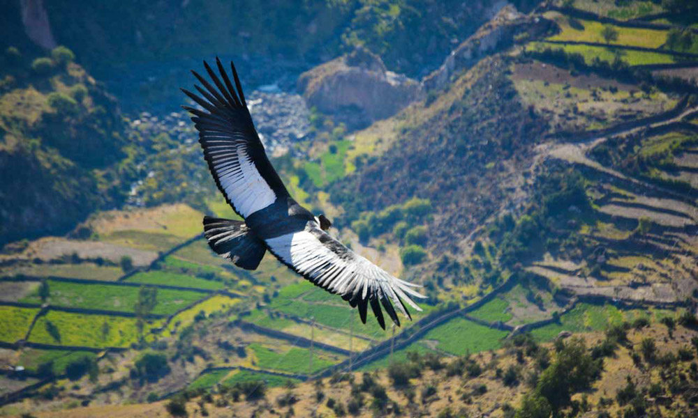 Andean Condor Flying Ayacucho