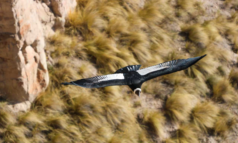 Andean Condor Flying Mayobamba Ayacucho