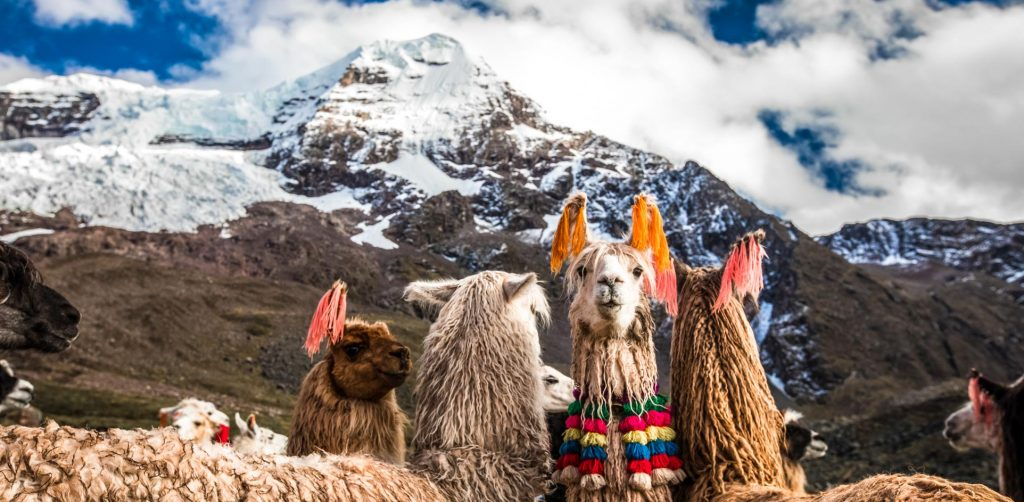 Lovely llamas in front of a snowpeak in the Sacred Valley of the Incas
