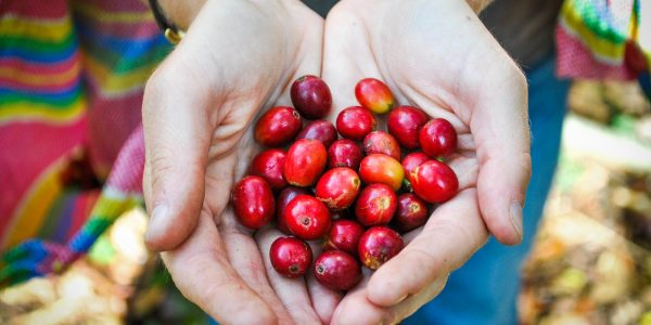Harvesting coffee in the cloud forest of Cusco