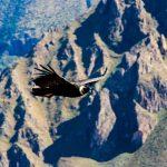 giant andean condor colca canyon peru
