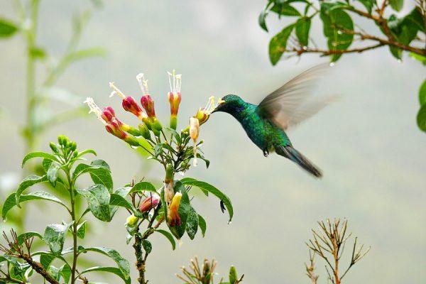 hummingbird at Gocta