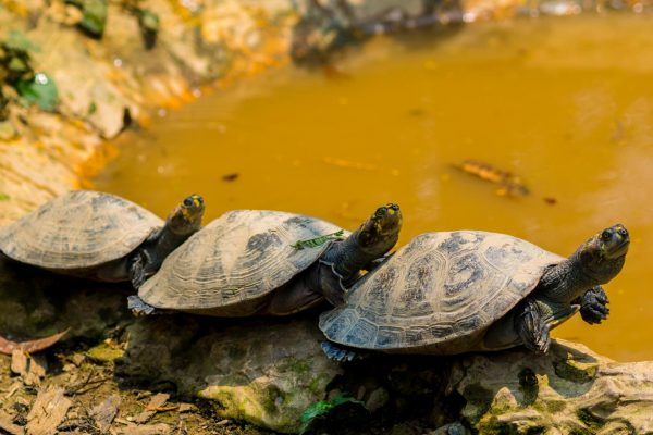 Three turtles laying on the banks of a river in the Tambopata National Reserve