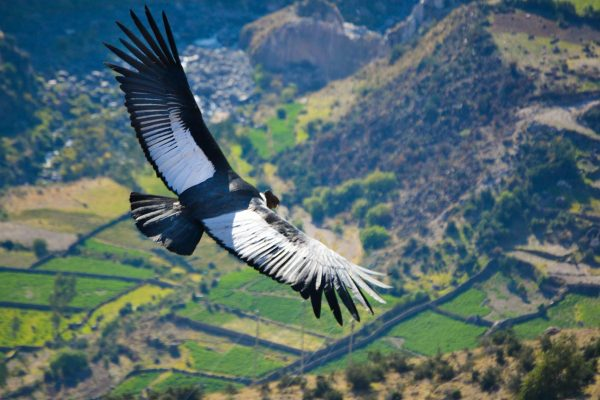 Andean condor flying above the Sondondo Valley, Ayacucho