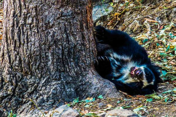 Spectacled bear in Chaparri Ecological Reserve