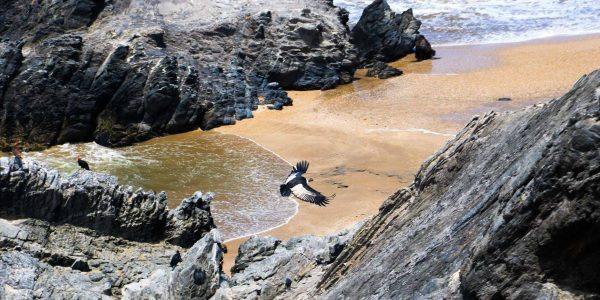 Andean condor flying above a rocky beach in Northern Peru