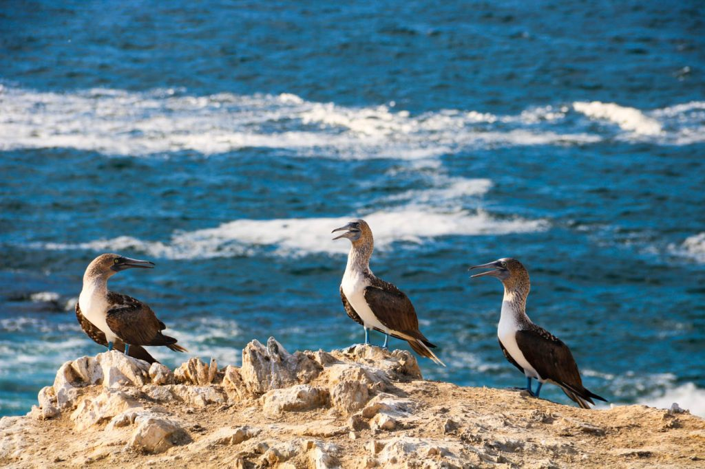 Blue-footed boobies at the Illescas Reserve, Northern Peru