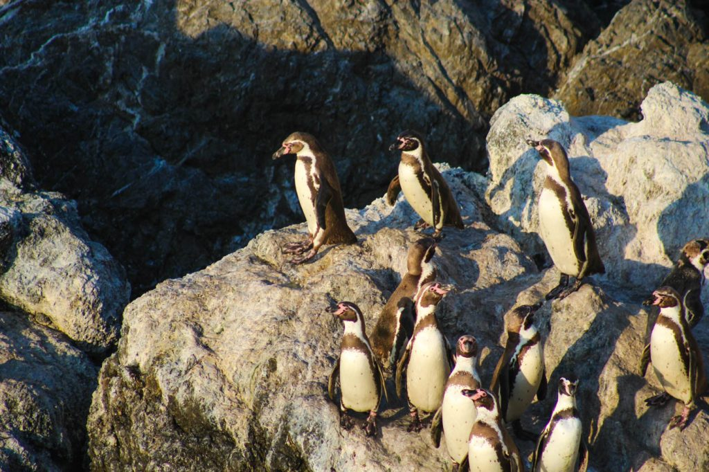 Humboldt penguins, Illescas, Northern Peru