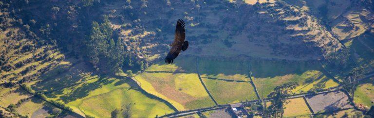 Andean Condors in Peru