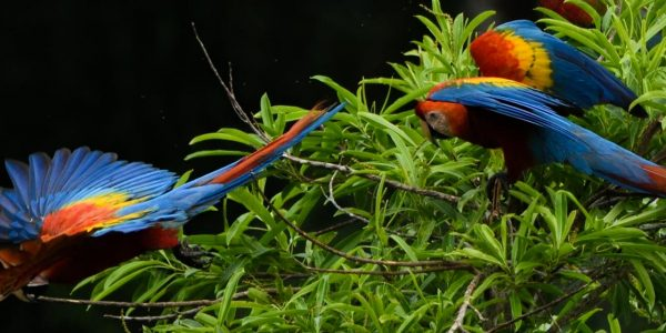 Tambopata Research Center: The Macaw Project